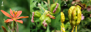 Candy Lily, Blackberry Lily seeds developing